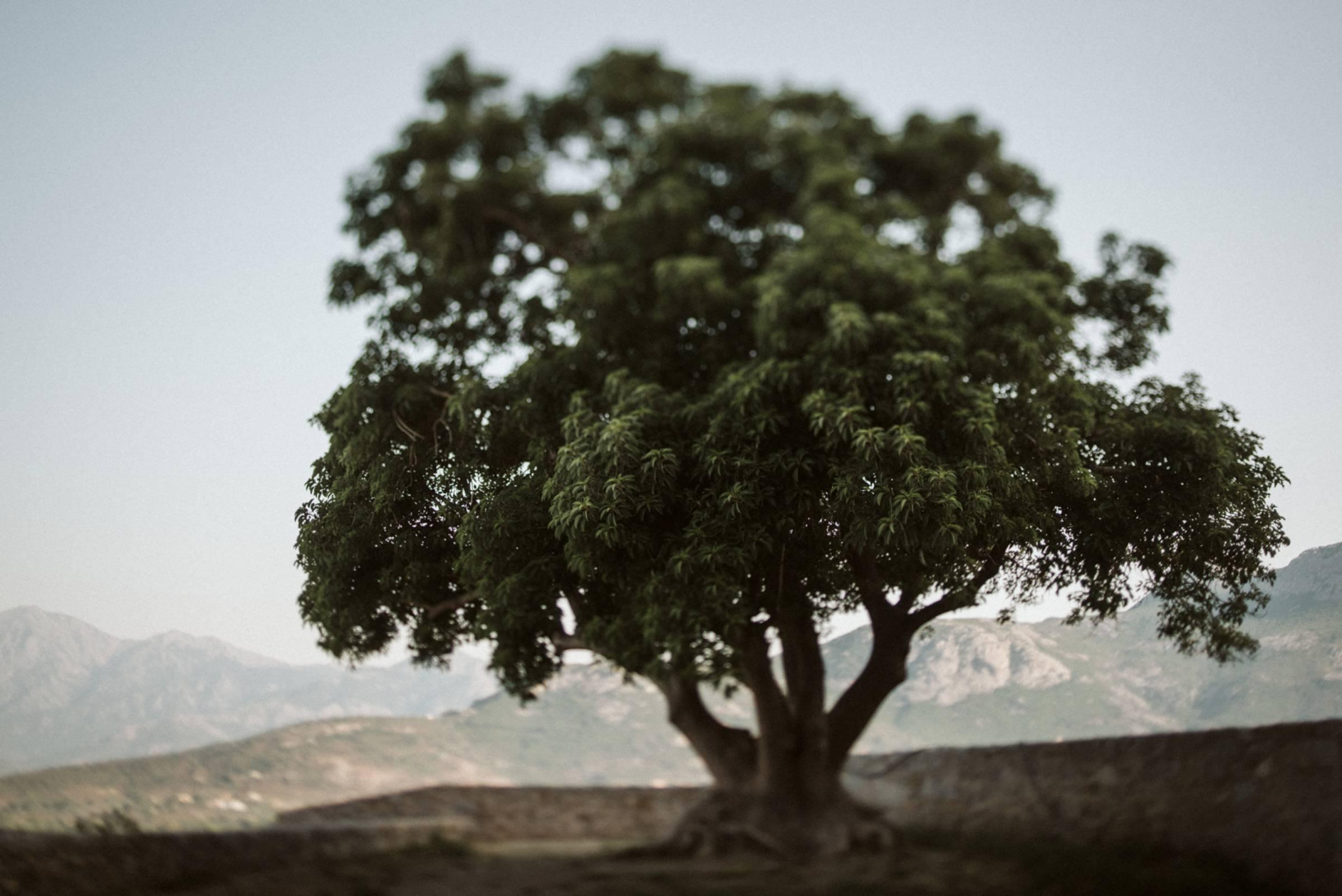 Olivenbaum in Frankreich